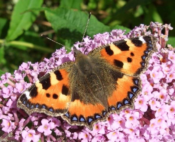 Tortoiseshell Butterfly by Isleman