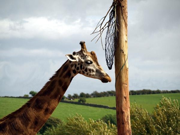 Cumbrian Giraffe by benzonar