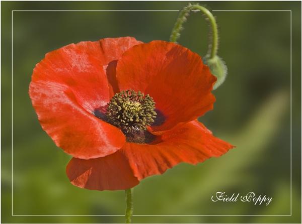 Field Poppy by roseyemma