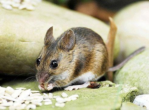 The Field Mouse by Hawkgenes