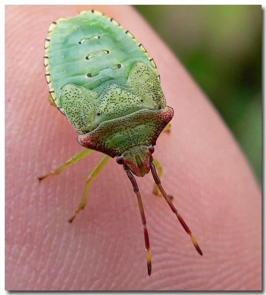 blushing bug by bunbeam