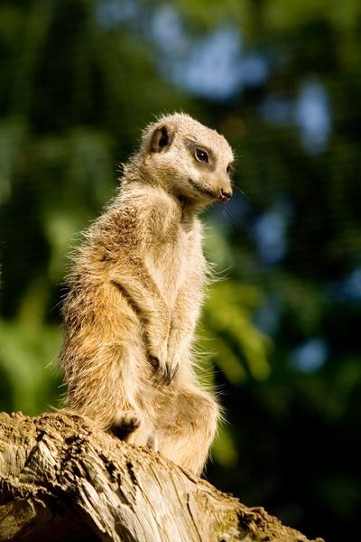 Meerkat by admiles