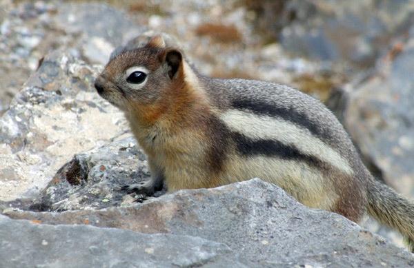 Ground Squirrel by Redbull