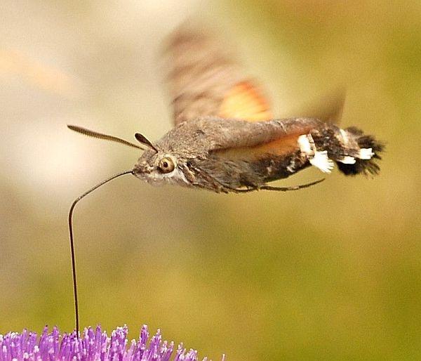 Hummingbird Hawk-moth by bushcraft