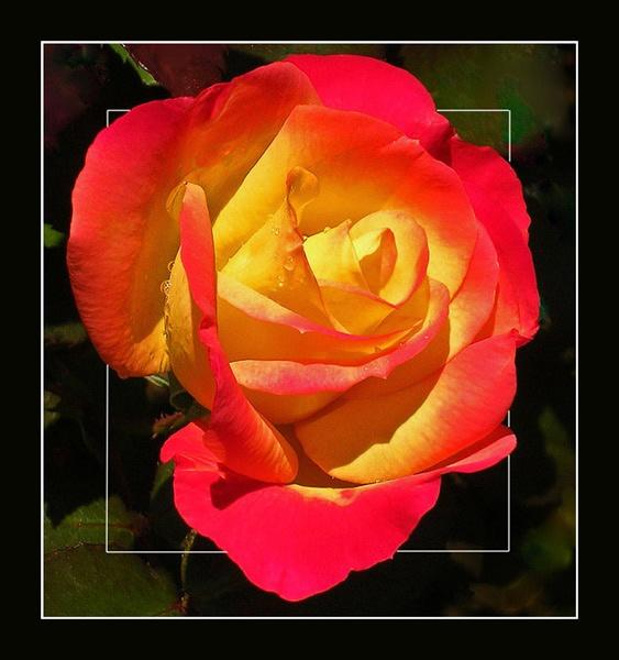 bi-colour rose by CarolG