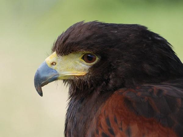 Bird of Prey by stevebidmead