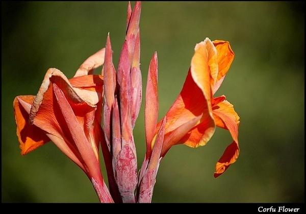 Corfu flower by S_Boulding