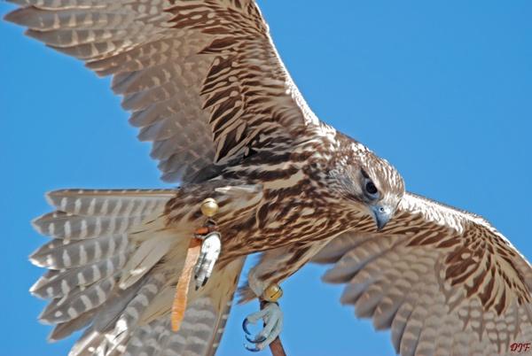 Falcon in flight by D_Menace