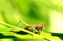 1 legged grasshopper