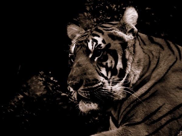 Sepia Tiger by WildLight