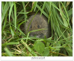 Short Tailed vole