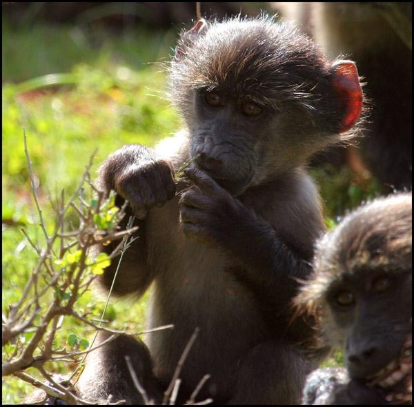 Kinder Kong by chrispd101