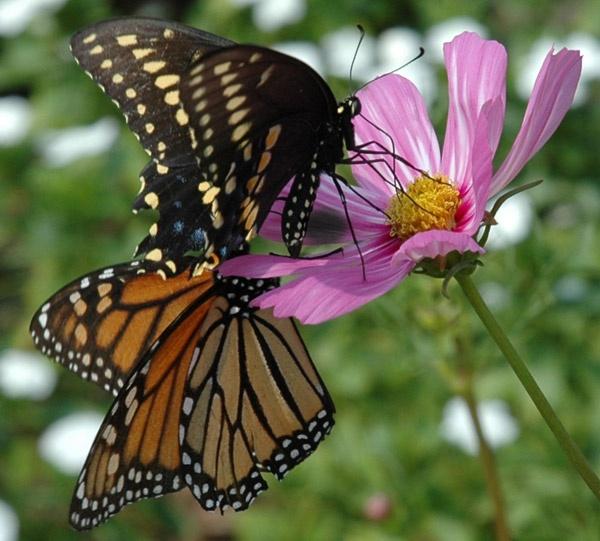 butterflies by jdh2
