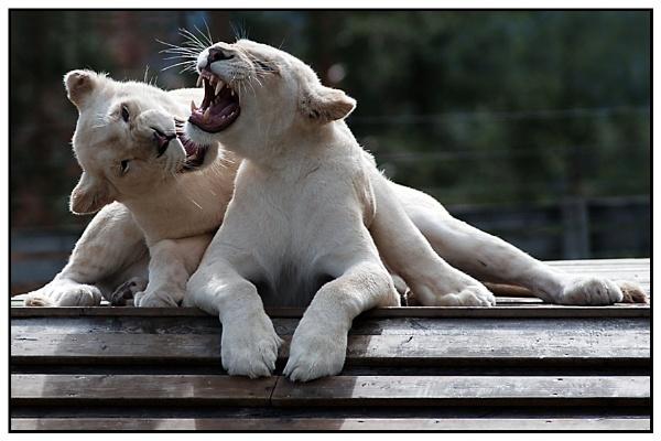 roar by zebhylon