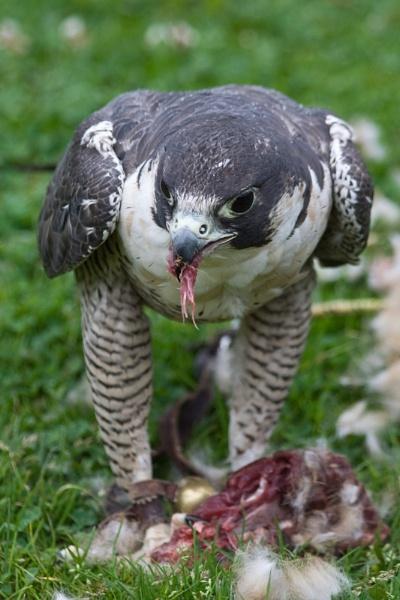 Falcon feeding by NeilJD