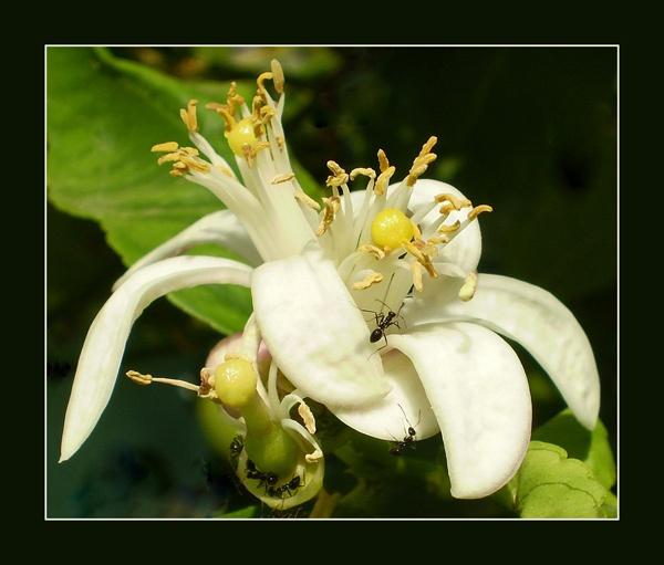 lemon blossom by CarolG