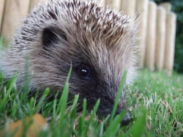 Hedgehog by ThatPhotoKid