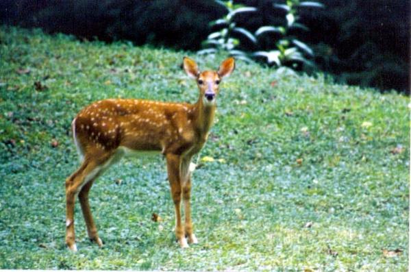 excuse me  deer by dawnmichelle