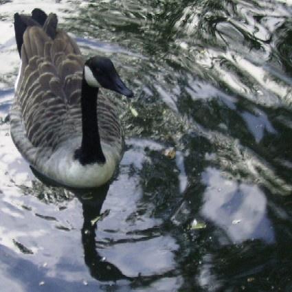 Goosey Goosey by Bigshot