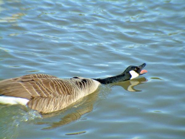 Canada goose by Emmybear