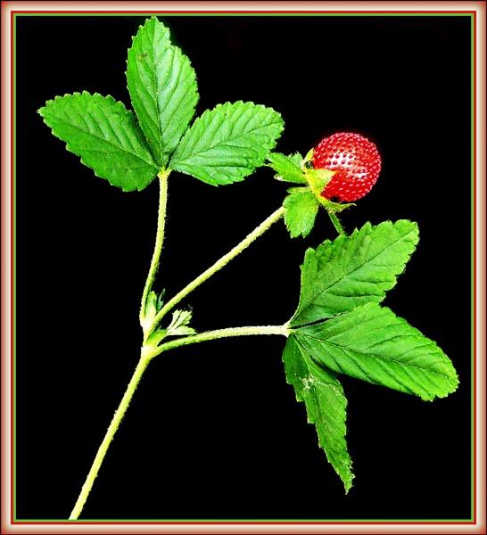 Wild Strawberry by fentiger