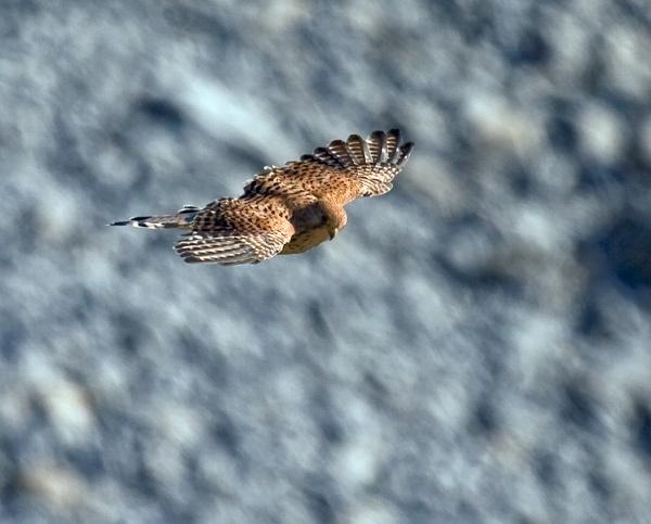 Kestrel by flyking3