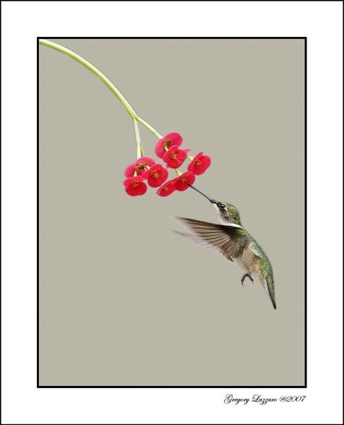 Humingbird by glazzaro