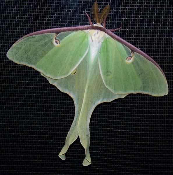 Luna Moth by Mychael