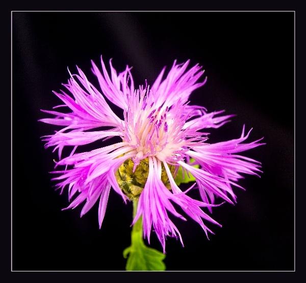 Centaurea (Montana cornflower) by ShaunL