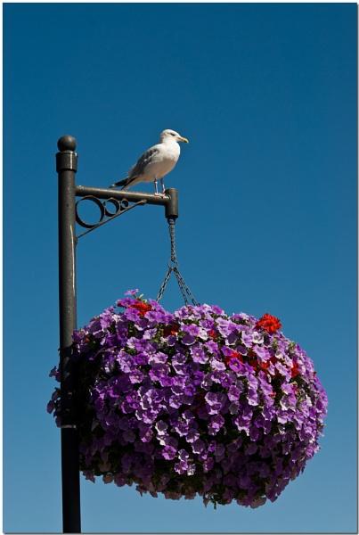 Cornish Gull by wwwCOLEUKcom