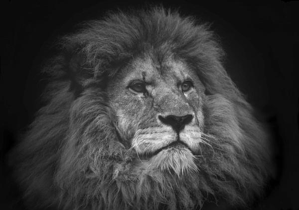 Lion Vignette by JeremyCC
