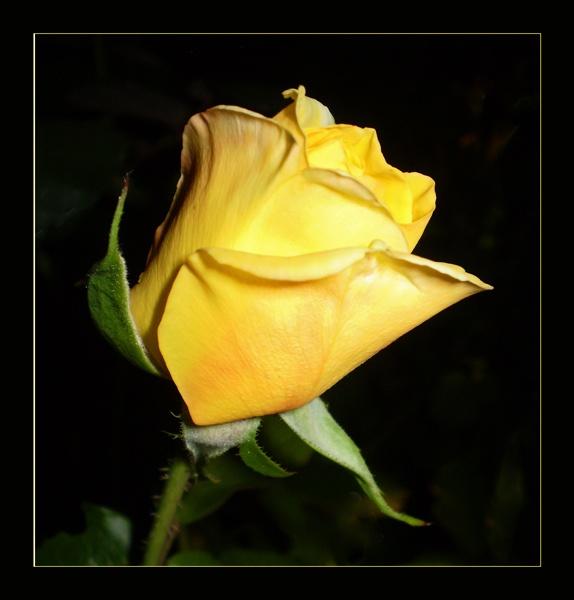 rosebud beauty by CarolG