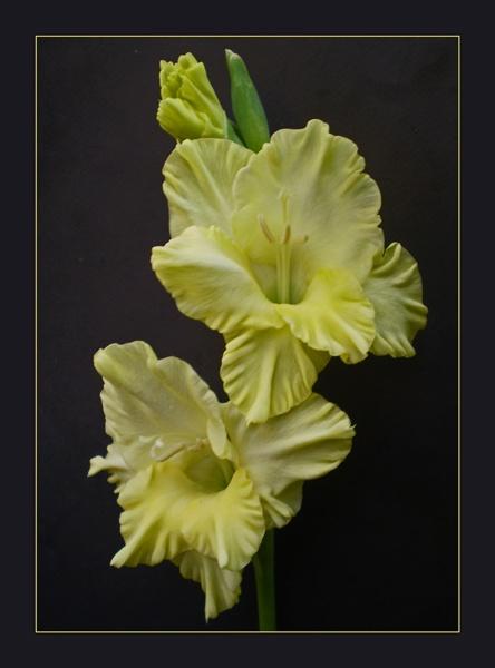 glorious gladioli by CarolG
