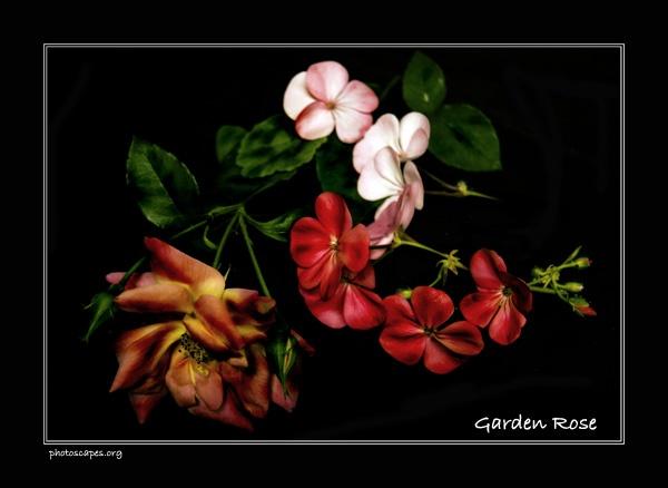 Rose by graeme34