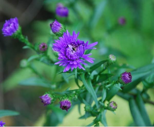 Purple Thistle by akw
