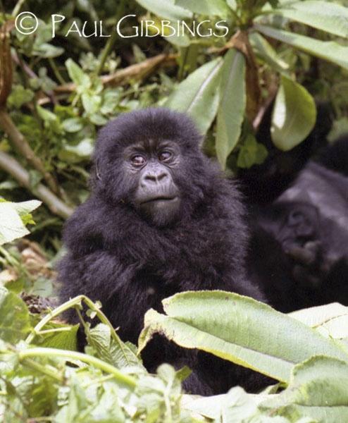 Baby Gorilla by snoozle
