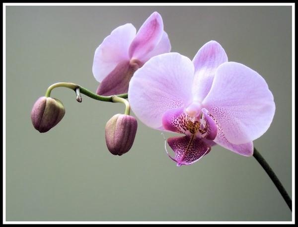 Orchid by JoeBo