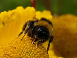 Bumblebee eyes