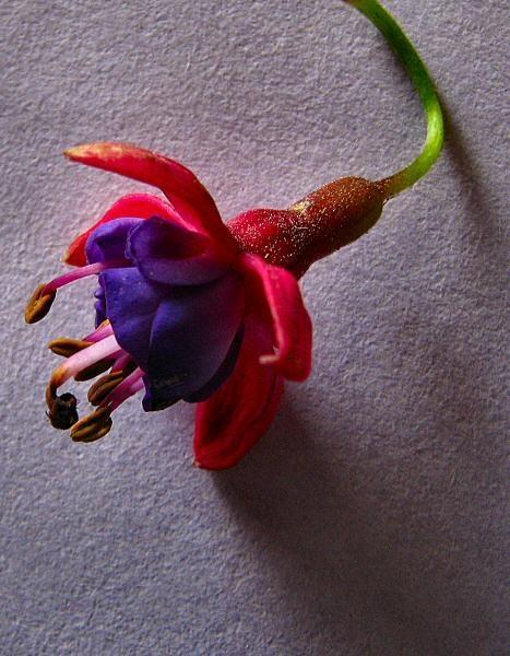 Fuchsia by Arty
