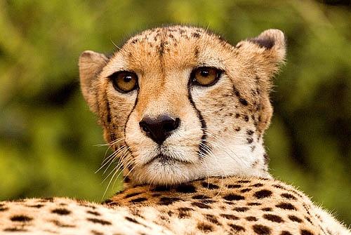 Cheetah by icphoto