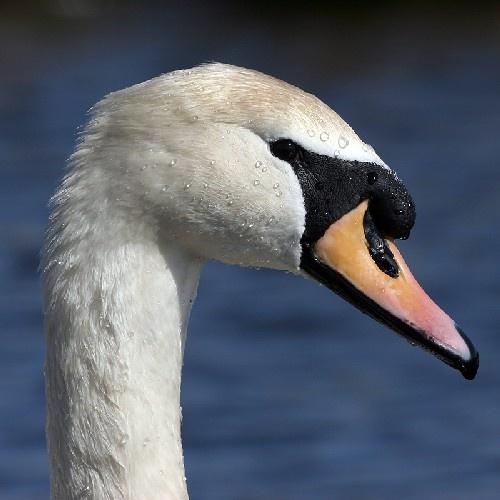 Swan by amwaluk