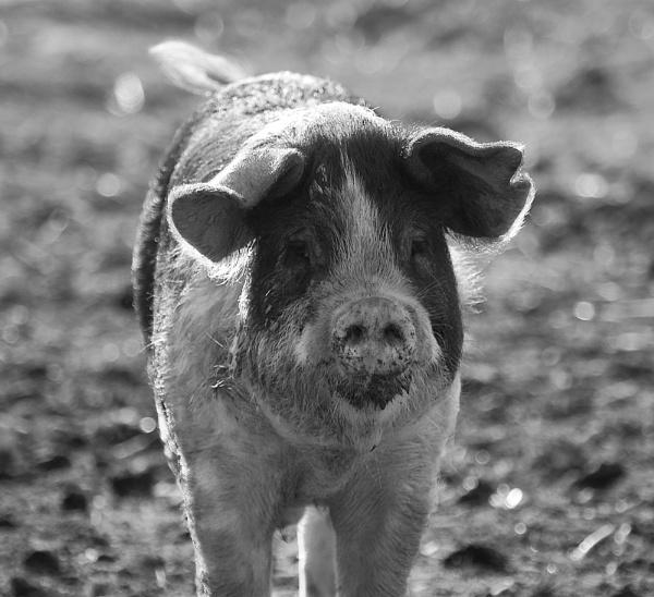 Oink!! by mohikan22