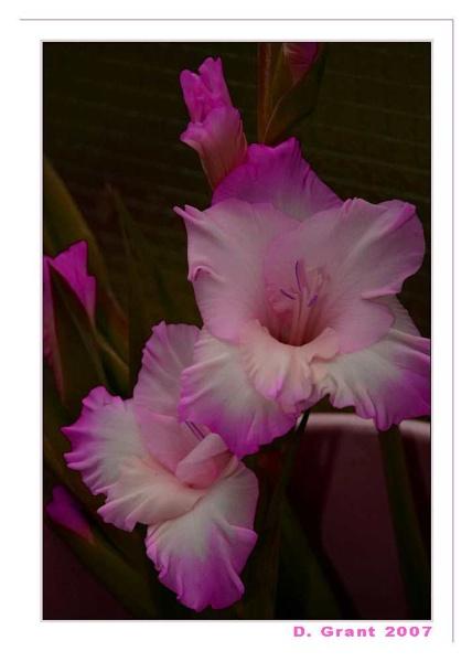Gladi-purple by daringdaphne