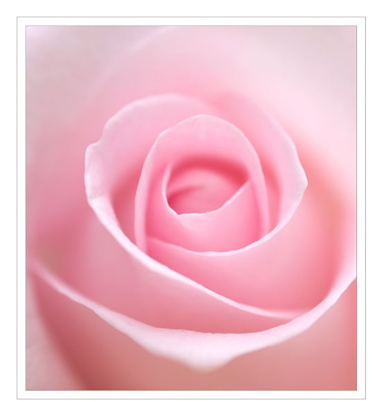 Rose by jeanette