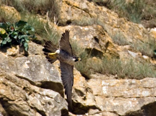 Peregrine Falcon by flyking3