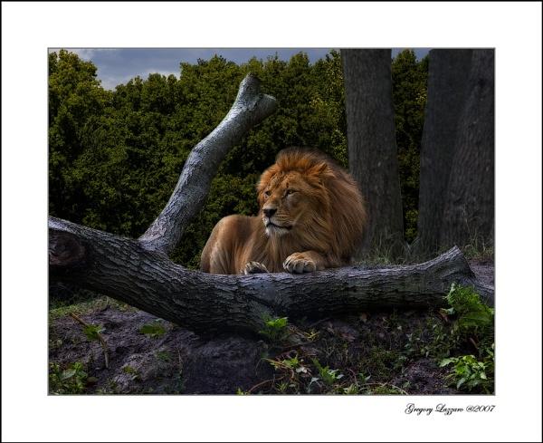 African Lion by glazzaro
