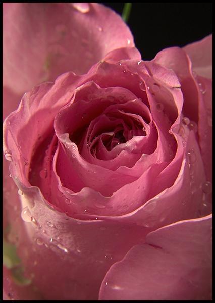 Rose study by wbk666