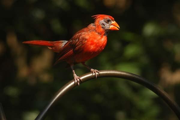 cardinal by jdh2