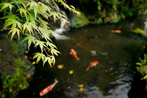 Japanese Maple by davenewt