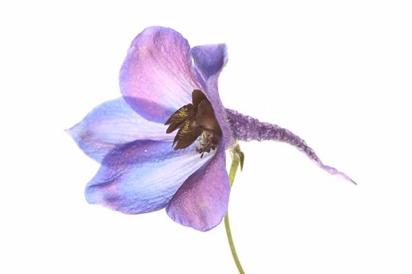 Purple Trumpet by LeighPerring